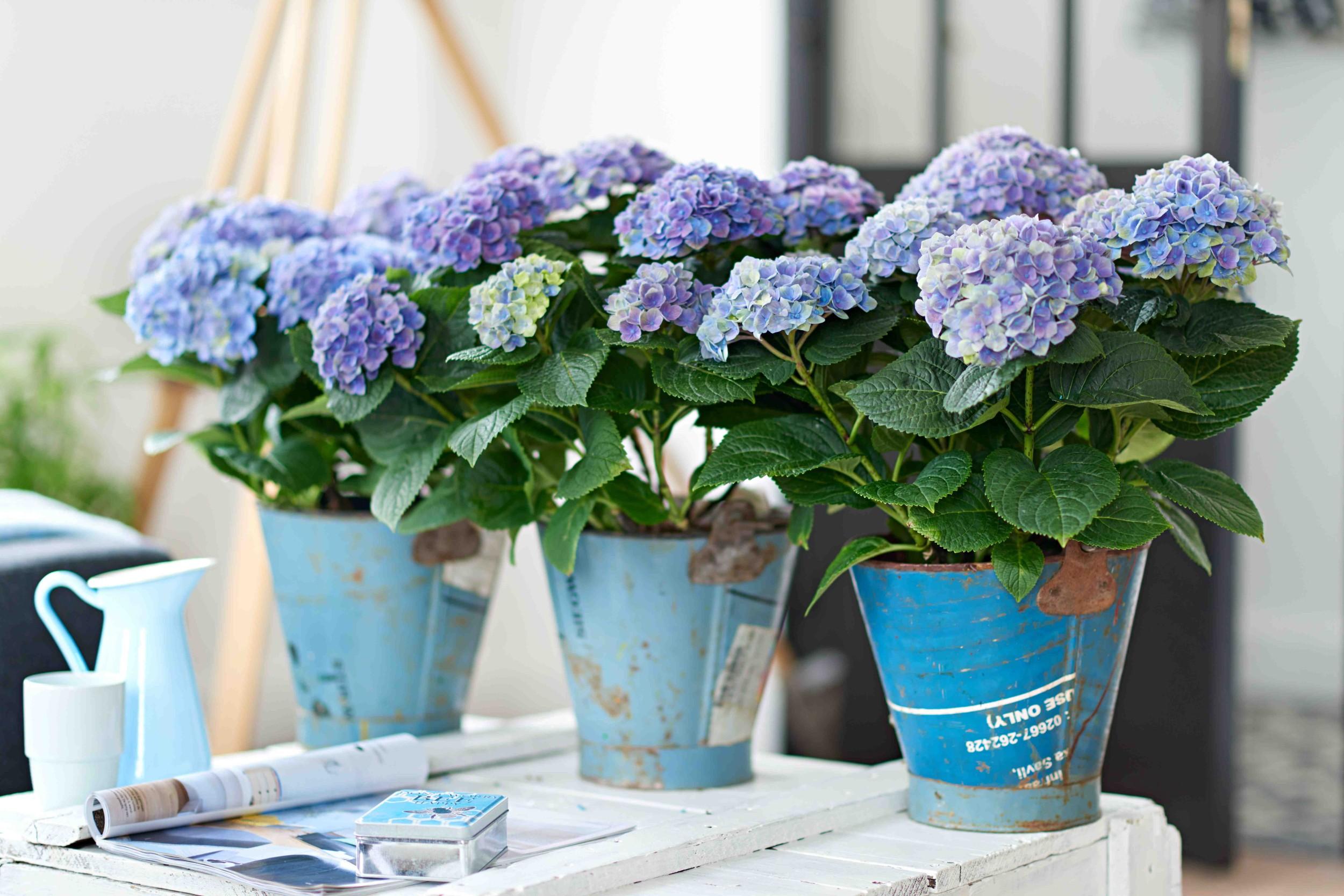 Des hortensias pour votre int rieur caroline munoz - Terre pour hortensia bleu ...